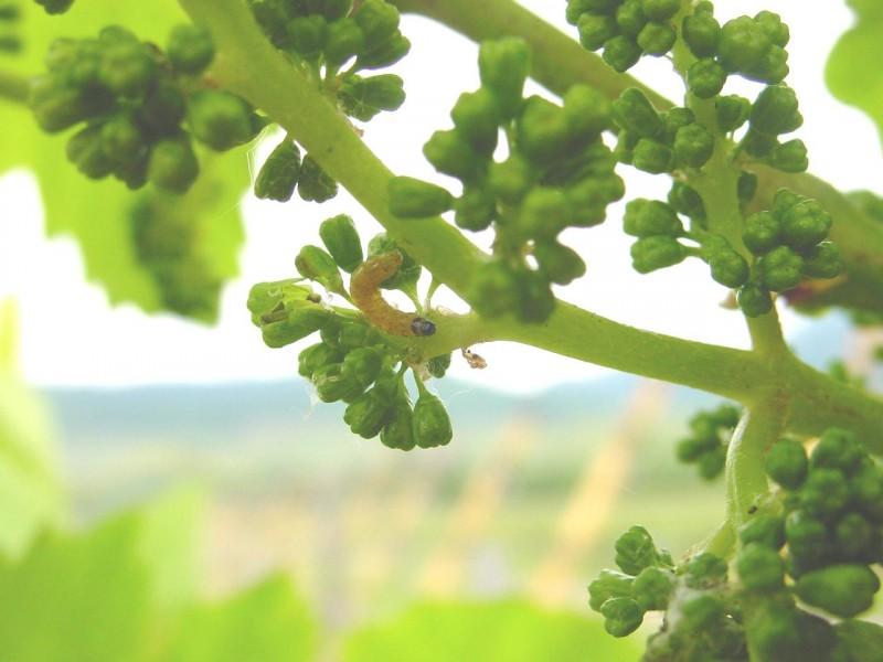 Ver de grappe Cochylis
