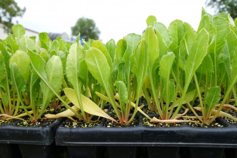 Plantation betteraves bio Schoenau 260521-19.JPG