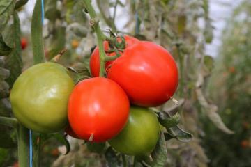 Tomates - 02.jpg